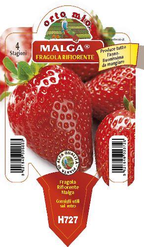 Re-flowering strawberry. 4 seasons medio-precoce Malga - Orto Mio