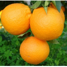 Fioroni Oranges (Arance di Ribera Washington) Fioroni