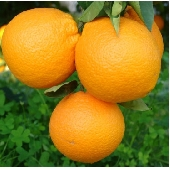 Sicilian Ribera Oranges Fioroni (Arance di Ribera Washington Fioroni)