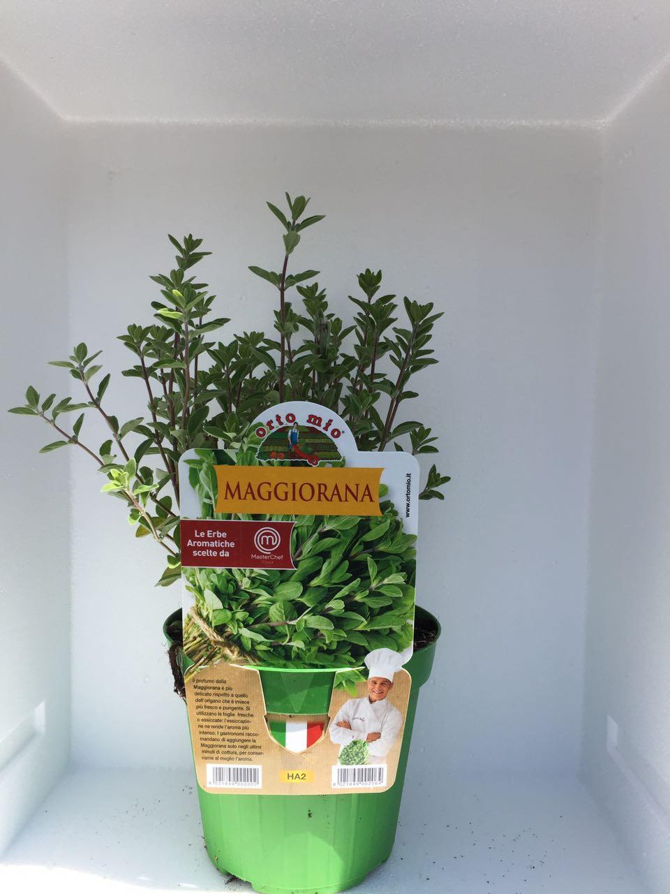 Marioram -  Pot plant 14 cm - Orto mio